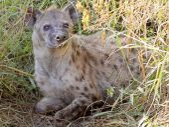Spotted hyena in the vegetation — Foto de Stock