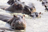 Hippos swimming in a pool — Stock Photo