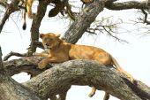 Lioness resting on a tree — Stok fotoğraf