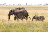 Baby african elephant with the mother — ストック写真