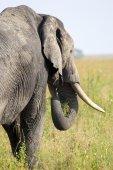 非洲大象从后面 — 图库照片