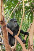 Blue diademed monkey on a tree — Stock Photo