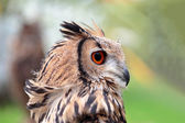 Portrait of an indian rock eagle-owl — Stock Photo