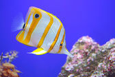 Copperband butterflyfish, a fish found in reefs of both Pacific and Indian oceans — Stock Photo