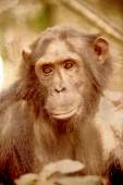 Portrait of a female chimpanzee in vintage sepia tone — Stock Photo