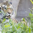 Fierce tiger in the grass — Stock Photo #79707780
