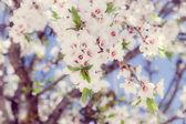 Almond flowers — Stock Photo