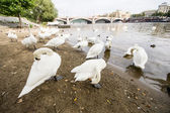 Geese in Prague, Czech Republic — Stock Photo