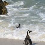 African Penguin nea water — Stock Photo #71088761