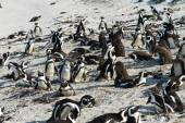 African Penguins in boulders beach — Stock Photo