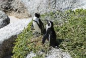 Jackass Penguins in grass — Stock Photo