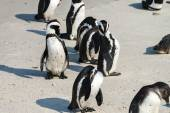 African Penguins at Boulders Beach — Stock Photo