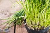 Fresh harvested Chives — Stock Photo