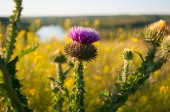 Cirsium vulgare Close-up on a background of the river and fields — Stock Photo