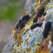 Different types of lichen and moss on a granite stone with a blurred background of nature in the background — Stock Photo #73802187