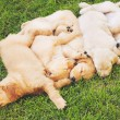 Golden Retriever Puppies — Stock Photo #52756415