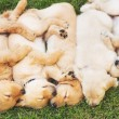 Golden Retriever Puppies — Stock Photo #52756585
