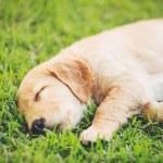 Golden Retriever Puppy — Stock Photo #52756701