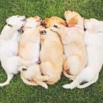 Golden Retriever Puppies — Stock Photo #52756749