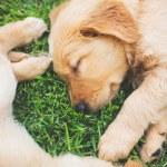 Golden Retriever Puppies — Stock Photo #52756767