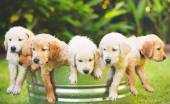 Filhote de retriever — Foto Stock