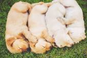Filhotes de golden retriever — Foto Stock