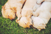 Golden Retriever Puppies — Stock Photo