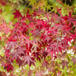 Maple tree close up in Fall — Stock Photo #57947917