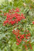 Red berries of undergrowth bushes  — Stock Photo