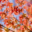 Detail of autumnal maple tree — Stock Photo #69178967