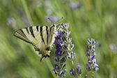 Scarce Swallowtail (Iphiclides podalirius) butterfly — Stock Photo