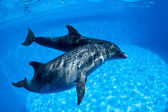 Dolphins couple swims under the water — Stock Photo