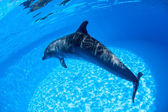 Dolphin swims under the water — Stock Photo