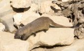 Mongoose in the wild — Stock Photo