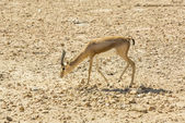 Young antelope on desert — Stock Photo