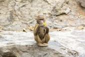 Cute funny monkey — Foto de Stock