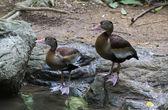 Waterfowl birds in summer water — Stock Photo