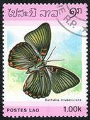 Euthalia erubescens Butterfly — Stock Photo