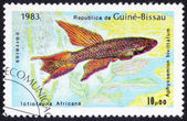 Aphyosemion bivittatum fish — Foto Stock
