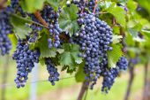 Branch of red wine grapes — Stock Photo