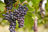 Branch of red wine grapes — Stockfoto