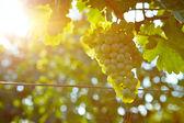 Vineyards at sunset in autumn harvest — Stock Photo