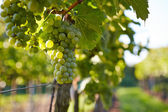 Branch of white wine grapes — Stock Photo