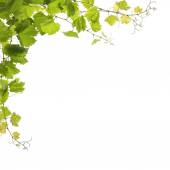 Vine leaves isolated on white  — Stock Photo