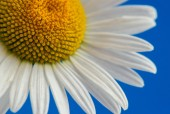 Daisies on blue sky background. — Stock Photo