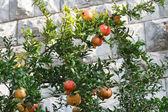 Ripe pomegranate fruit on a branch  — Stock Photo