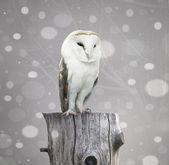 Barn Owl with snow — Stock Photo