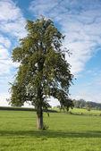 Single tree in landscape — Stock Photo