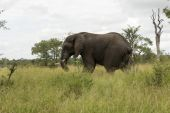 Wild animal in kruger national parc — Stock Photo