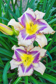 Multicolored daylilies (Hemerocallis) — Stock Photo
